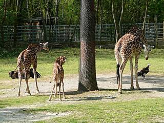 Giraffen im Riverbanks Zoo and Garden.  © Frustrated Writer