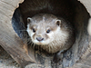 Nachwuchs bei den Kurzkrallenottern im Zoo Heidelberg