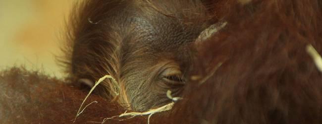 Orang-Utan-Baby © Erlebnis-Zoo Hannover