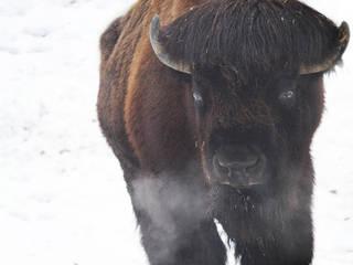 Ein Büffel im Dierenpark Planckendael © jinterwas